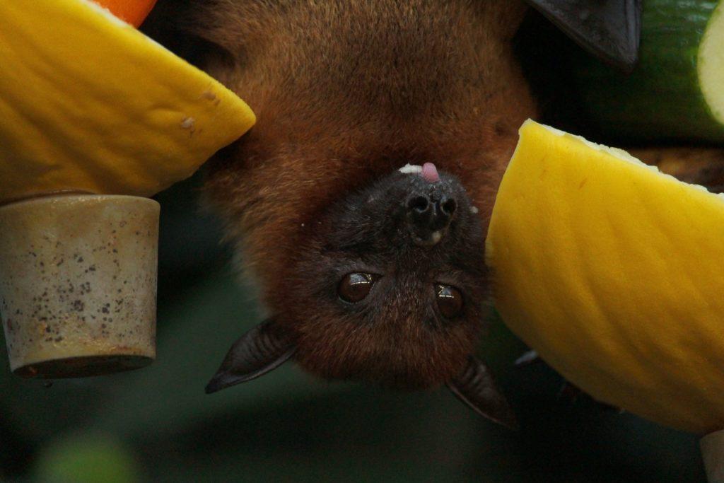A close up photo of a bat eating fruit